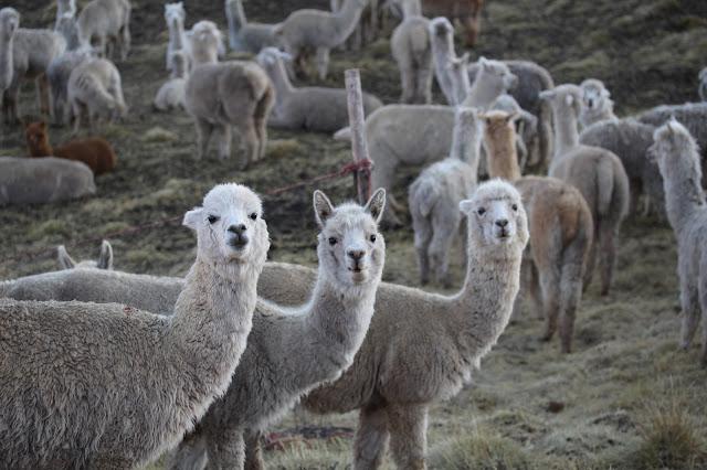 Peru alpakaer