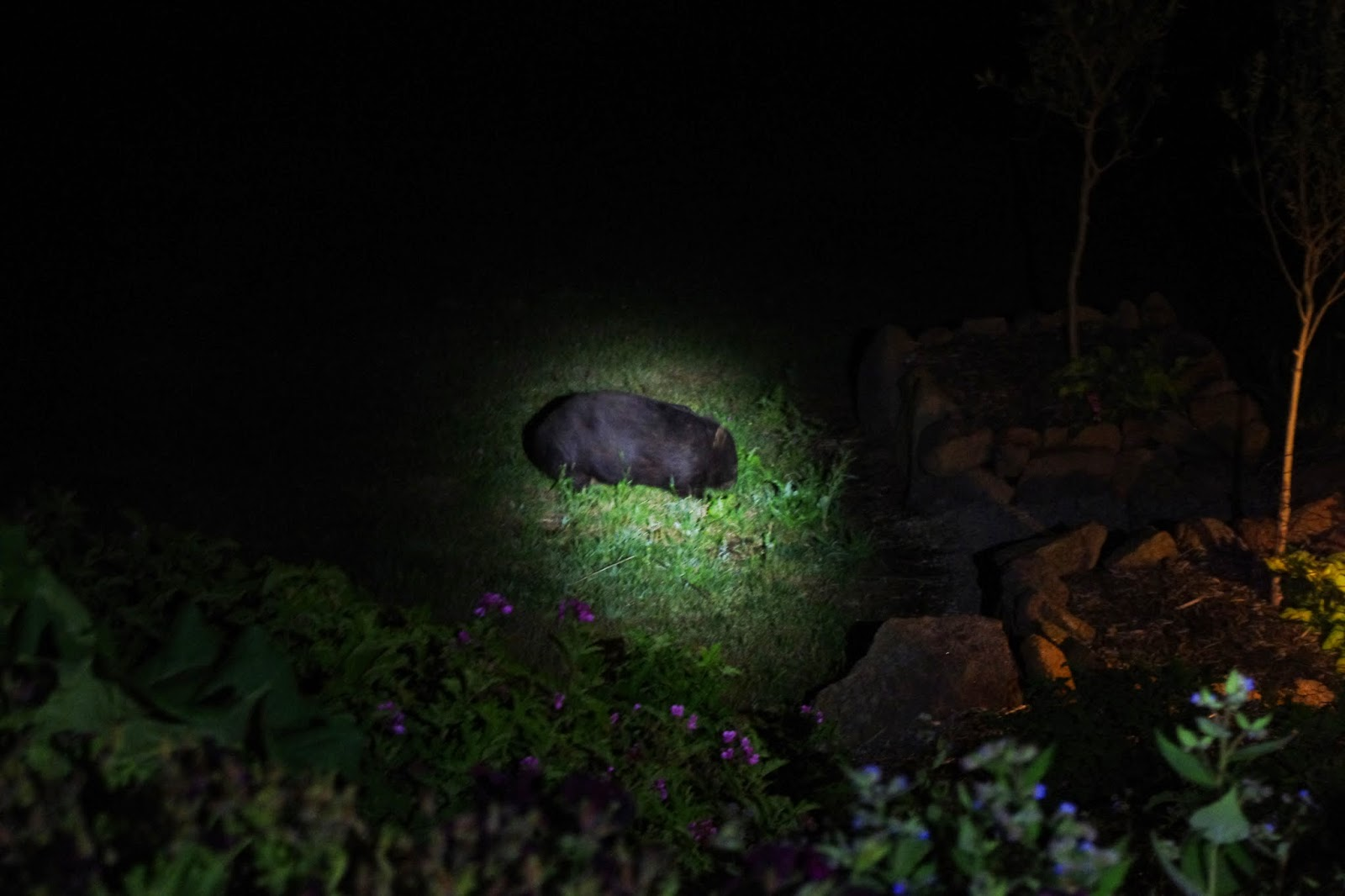 Fatso the wombat cruising the herbage