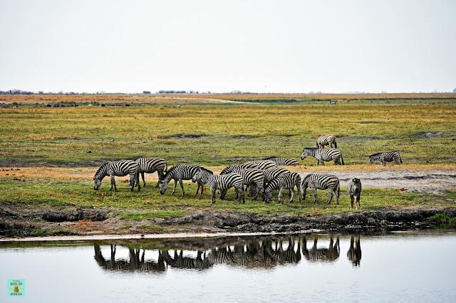 Cebras en Chobe Riverfront, Botswana