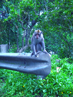 Monkey At Wanagiri Village North Bali