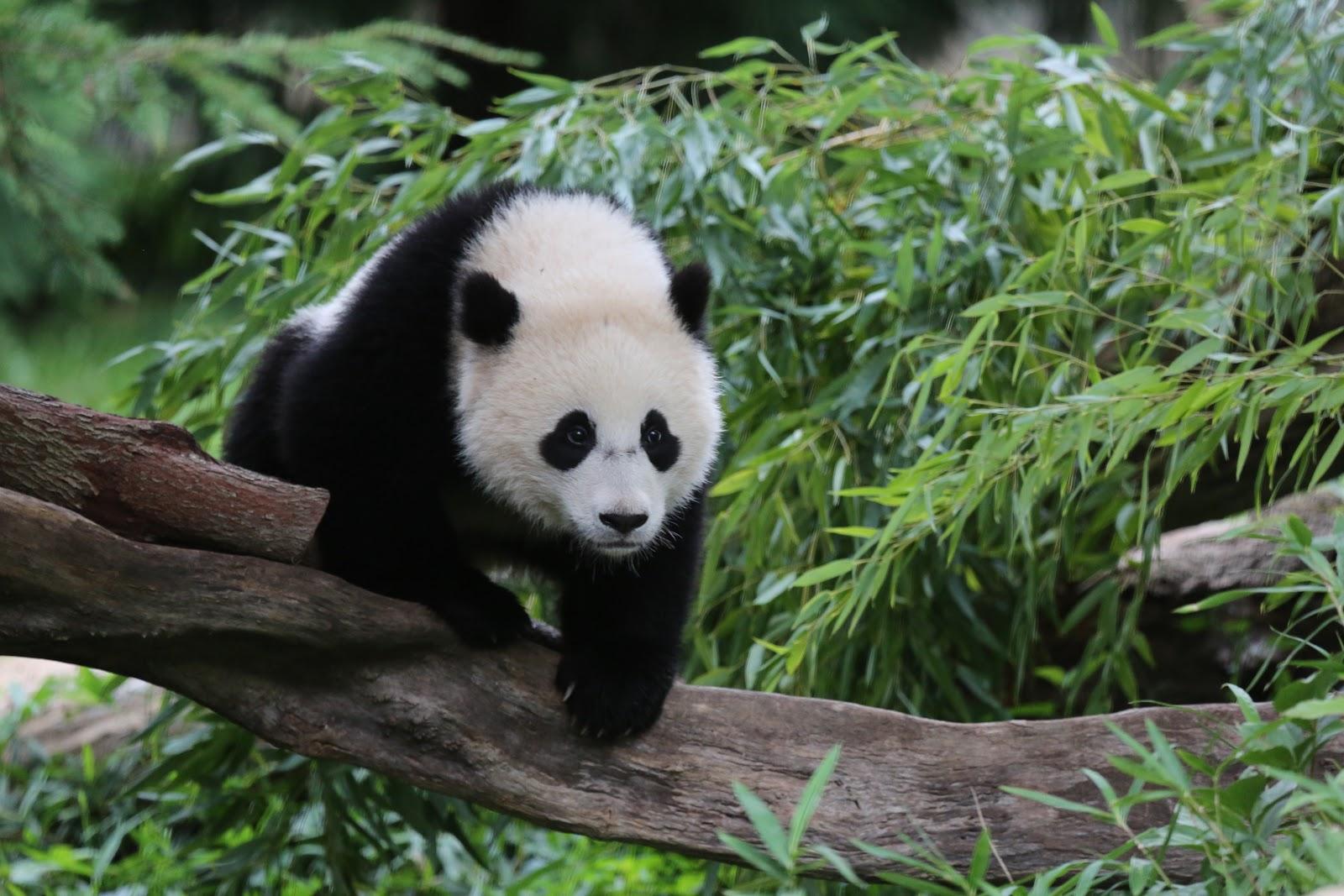 森の中で木の枝を歩いている一歳の赤ちゃんパンダ