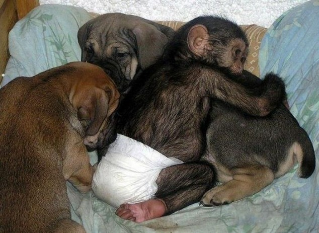 Image result for baby chimpanzee cute