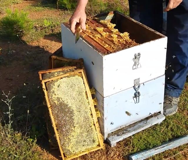 Τρύγος μελιού από τον επαγγελματία μελισσοκόμο Μόσχο: Δείτε μέλια να χαρείτε video