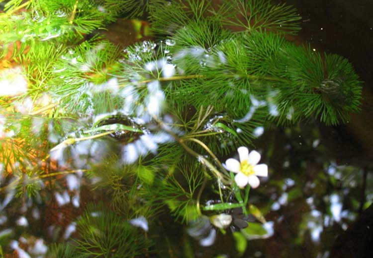 Cây thủy sinh la hán xanh thích hợp trồng vị trí hậu cảnh