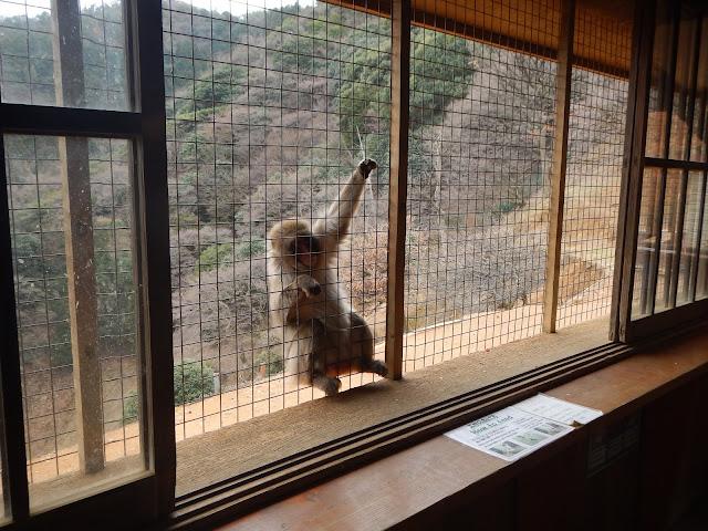 Mono pidiendo comida en el Iwatayama Monkey Park