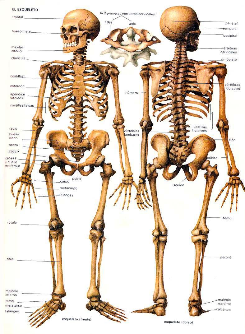 TANATOPRAXIA: CONCEPTOS BÁSICOS DE ANATOMÍA. Capitulo 1 : Esqueleto ...