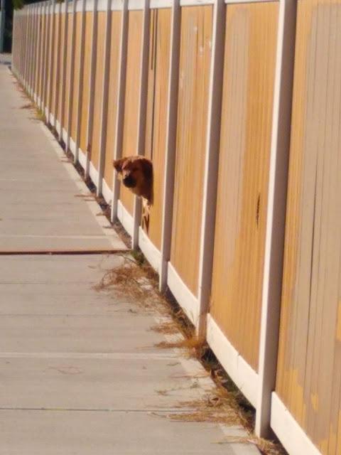 Doggone fence