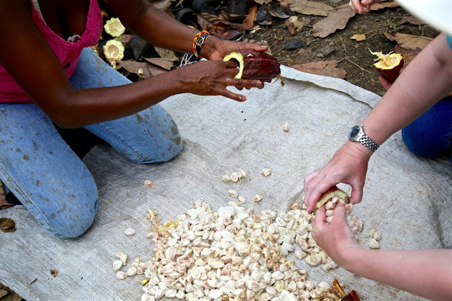 Pulling the cacao beans from the rinds, Crayfish bay farm,Grenada