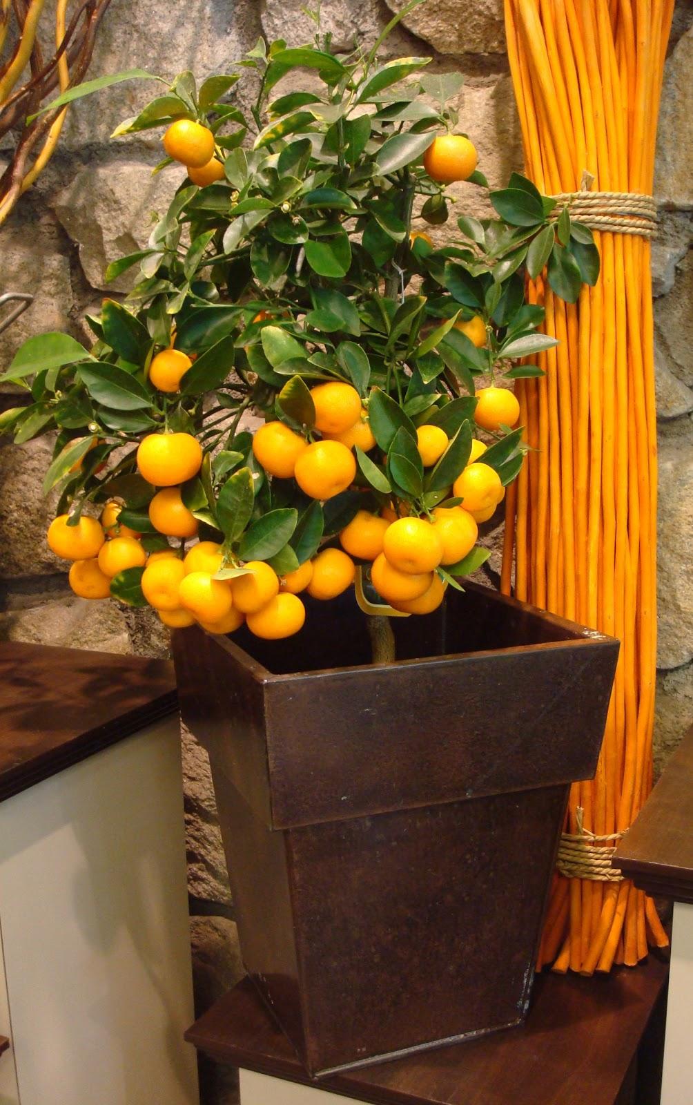 fleuriste isabelle feuvrier le cl mentinier mandarinier ou oranger. Black Bedroom Furniture Sets. Home Design Ideas