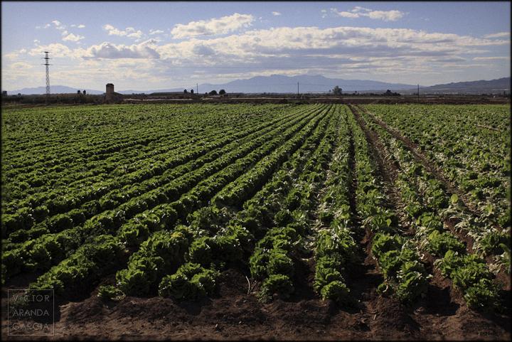 fotografía, naturaleza, Murcia, Arriba Extraña, lechugas, huerta, campo, abandono, capitalismo