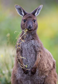 Kangaroo eating grass fart windy farting methane gas