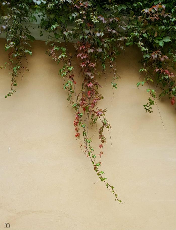 villiviini seinällä punertuu