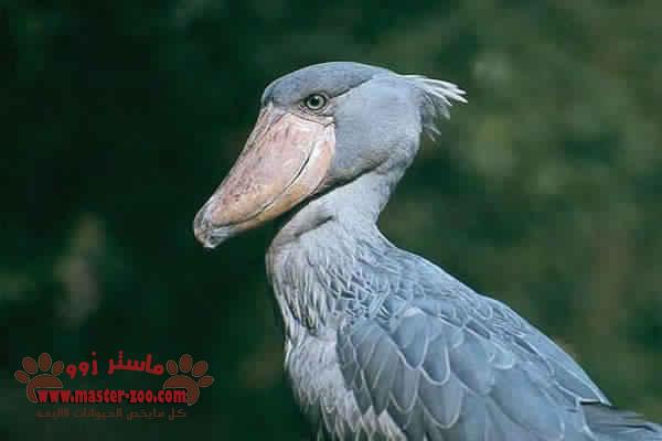 تعرف على طائر حذاء النيل الابيض ( ابو مركوب ) Ciconii Formes