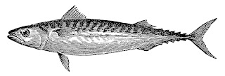 https://2.bp.blogspot.com/-ZRsU9tE4HfU/WZoWVqlRNlI/AAAAAAAAgxQ/VSVr03wyWwQUOYzo_KnZ6v2hBqTNbeccACLcBGAs/s320/fish-mackerel-illustration-artwork-sealife-drawing.jpg