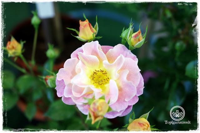 Gartenblog Topfgartenwelt Gartenmesse Stuttgart 2017: Rose