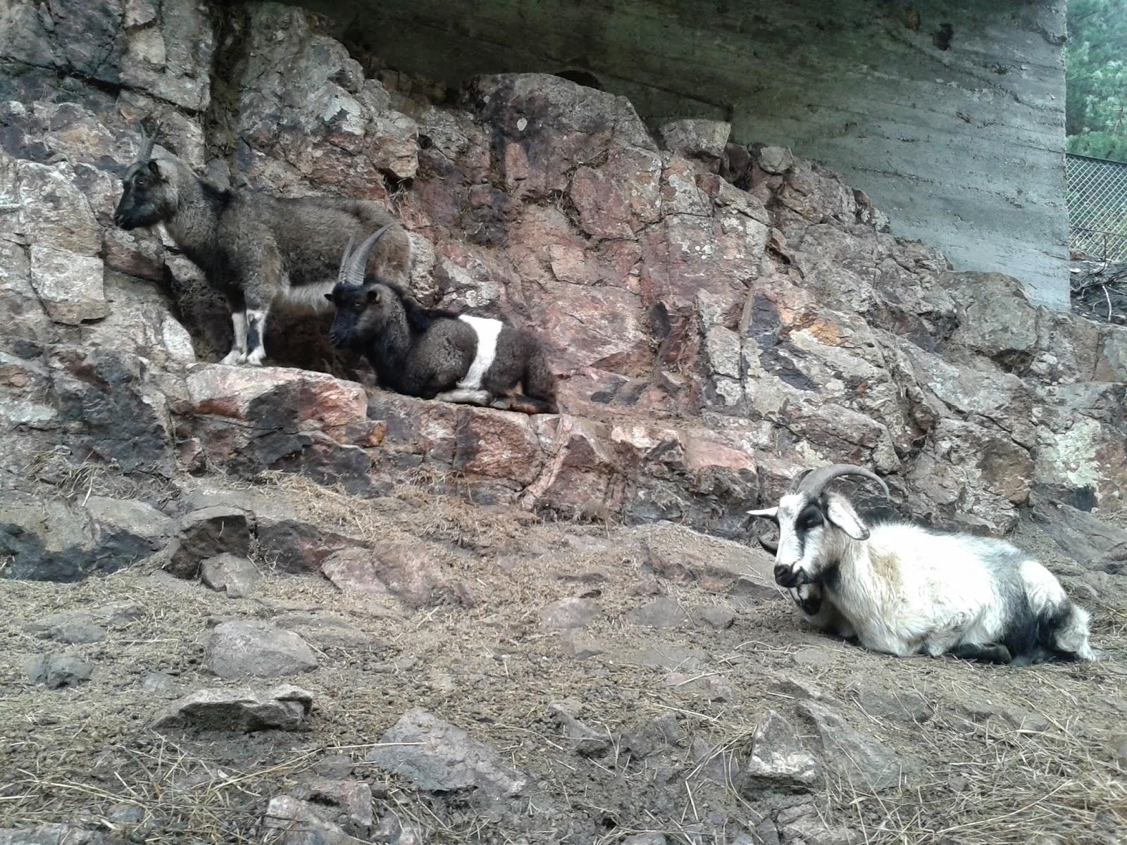 карачаевская порода козы
