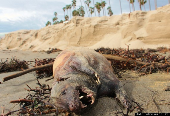 California Monster washed up on the beach.