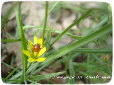 гусиный лук, божья коровка в цветке, желтый