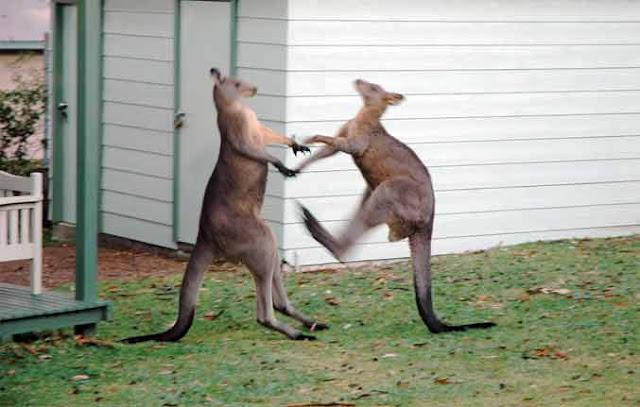 fakta kanguru