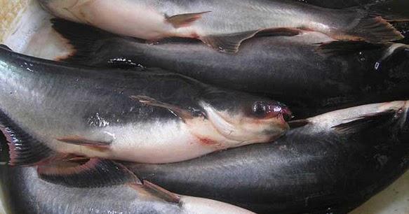 Racikan Umpan Ikan Patin Kolam Yang Susah Makan Mancing Ikan Besar