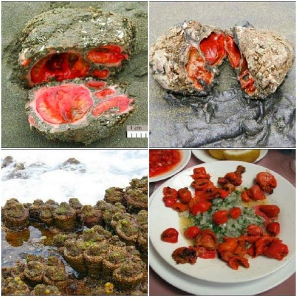 صخور حية يمكن أن تؤكل وتحتوى على دم صافي