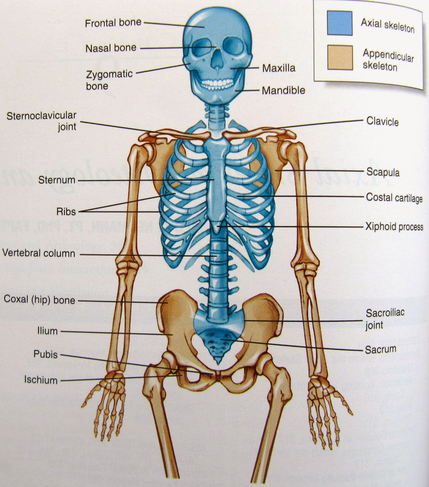Facial Bones Diagram Not Labeled 91 240sx Headlight Wiring Science Is Wonderful Human Skeleton
