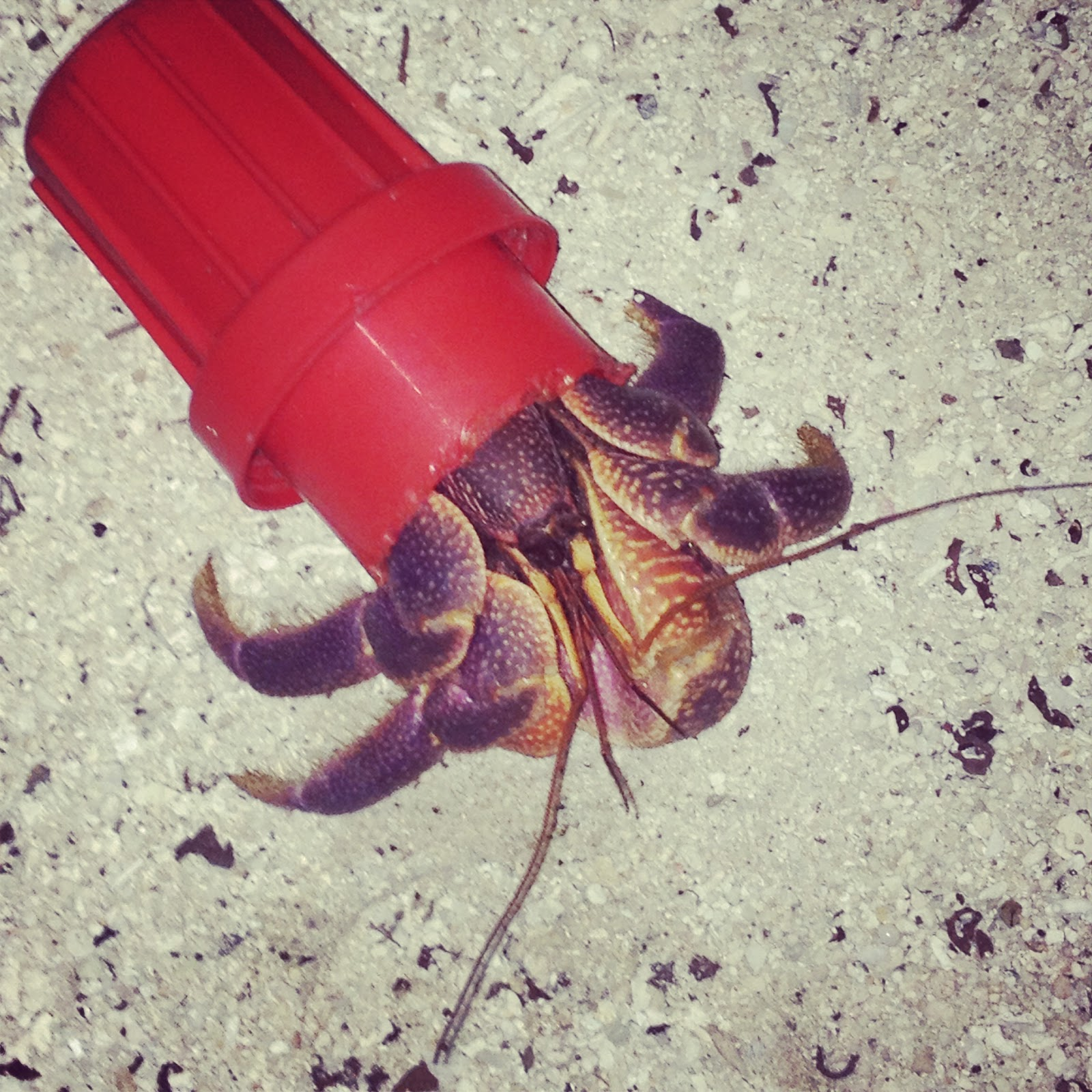 marine biology blog a hermit crab makes a plastic home we dive