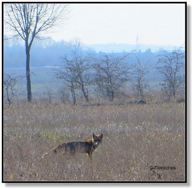 Fuchs gesehen