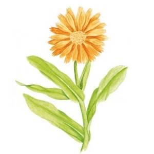 Calêndula é usada para tratar fungos, acne e escaras, ajuda a prevenir assaduras em crianças e pode aliviar queimaduras leves, inclusive as de sol