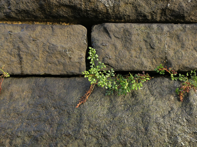 Delicate plant with dark green leaves growing in cracks between stones in a wall in West Yorkshire.