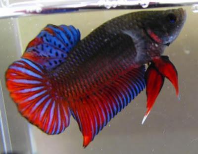jenis ikan hias air tawar paling keren cupang fish