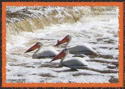 Three pelicans surfing at the Albert Street Bridge weir in Regina, SK