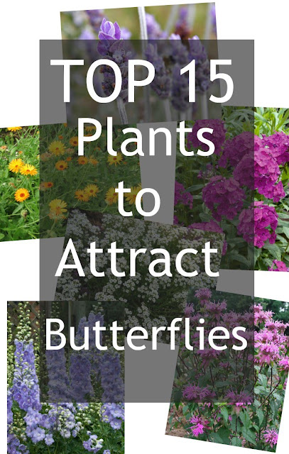 Best Perennials to attract butterflies to your garden.