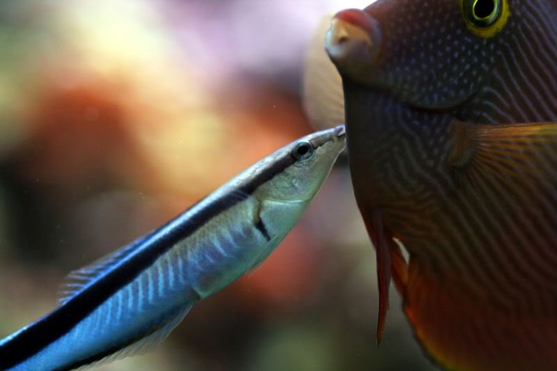 Bluestreak cleaner wrasse fish cleaning another fish.