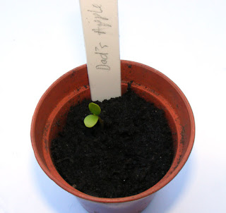 Seedling grown from an apple pip
