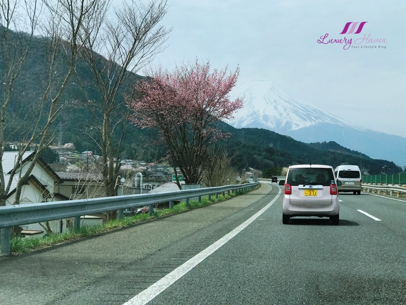 world cultural heritage site mount fuji cherry blossom
