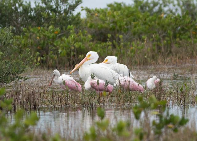 American White Pelican - Merritt Island, Florida