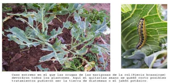 Problemas graves con orugas en las coles. Asturias