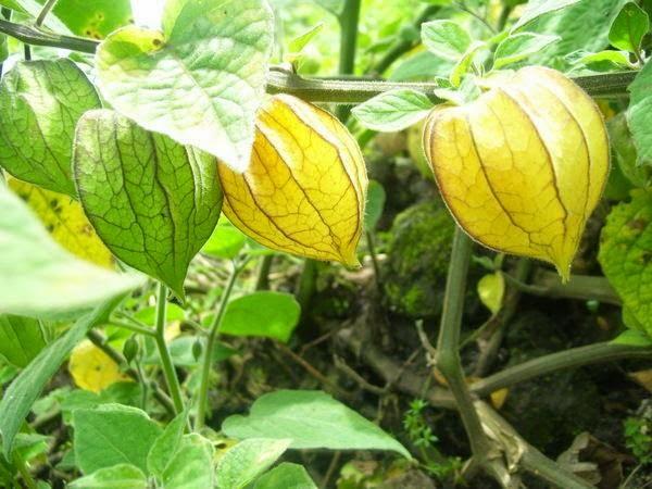 Flora De La Selva Peruana Platanillo Alpinia Purpurata: INTERCAMBIO DE SEMILLAS: SEMILLAS QUE TENGO O PUEDO