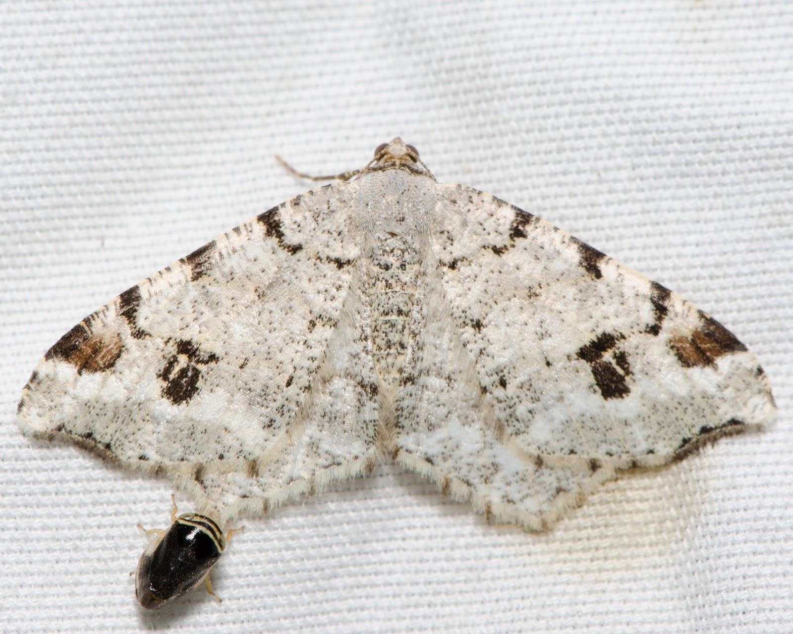 Hemlock Angle (Macaria fissinotata)