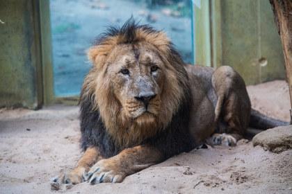 Власти Кении обвинили посетителей заповедника в гомосексуализации львов