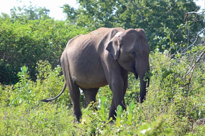 Elefant im Udawalawe Nationalpark, Sri Lanka