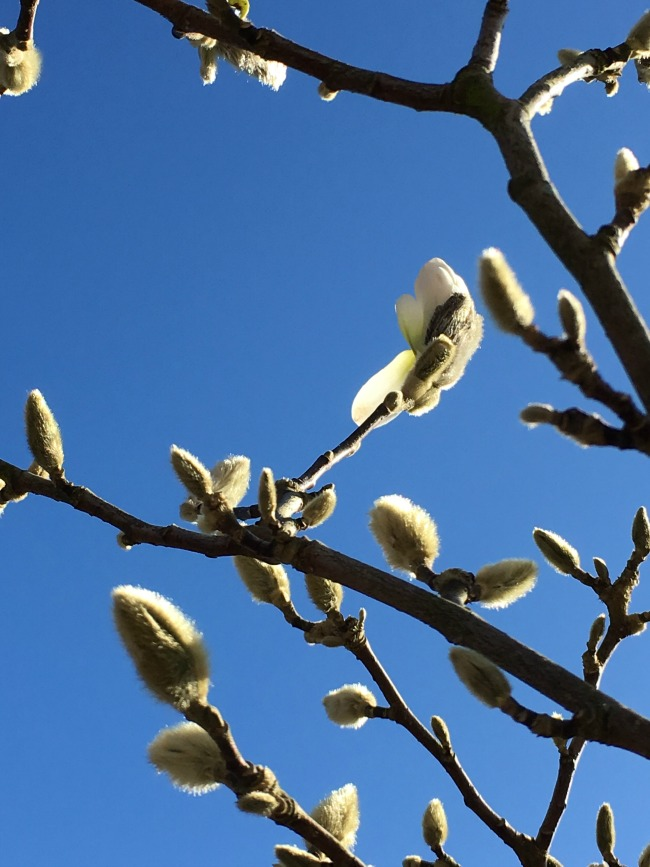 brilliant blue sky with twigs with big hairy buds. One has just slightly opened with a white petal showing.