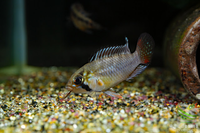 F1, Apistogramma sp. tame