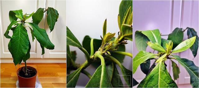 Awokado właściwe (Persea americana), smaczliwka wdzęczna z nasiona, uprawa awokado w domu i na zewnątrz z pestki, czteroletnia siewka smaczliwki, choroby, problemy w uprawie i hodowli, czarne plamki na liściach, drewnienie łodygi, wyciąganie, jak pielęgnować awokado na parapecie.