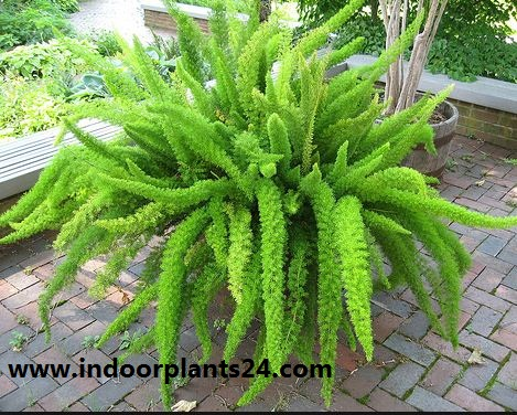 Asparagus densiflorus indoor house plant potted