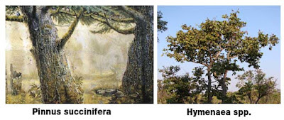 ambar pinus succinifera y hymenaea spp. | Foro de minerales