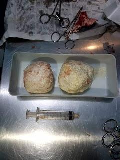 oprasi bladder stone pada kura kura