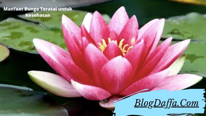 Manfaat Bunga Teratai untuk Kesehatan