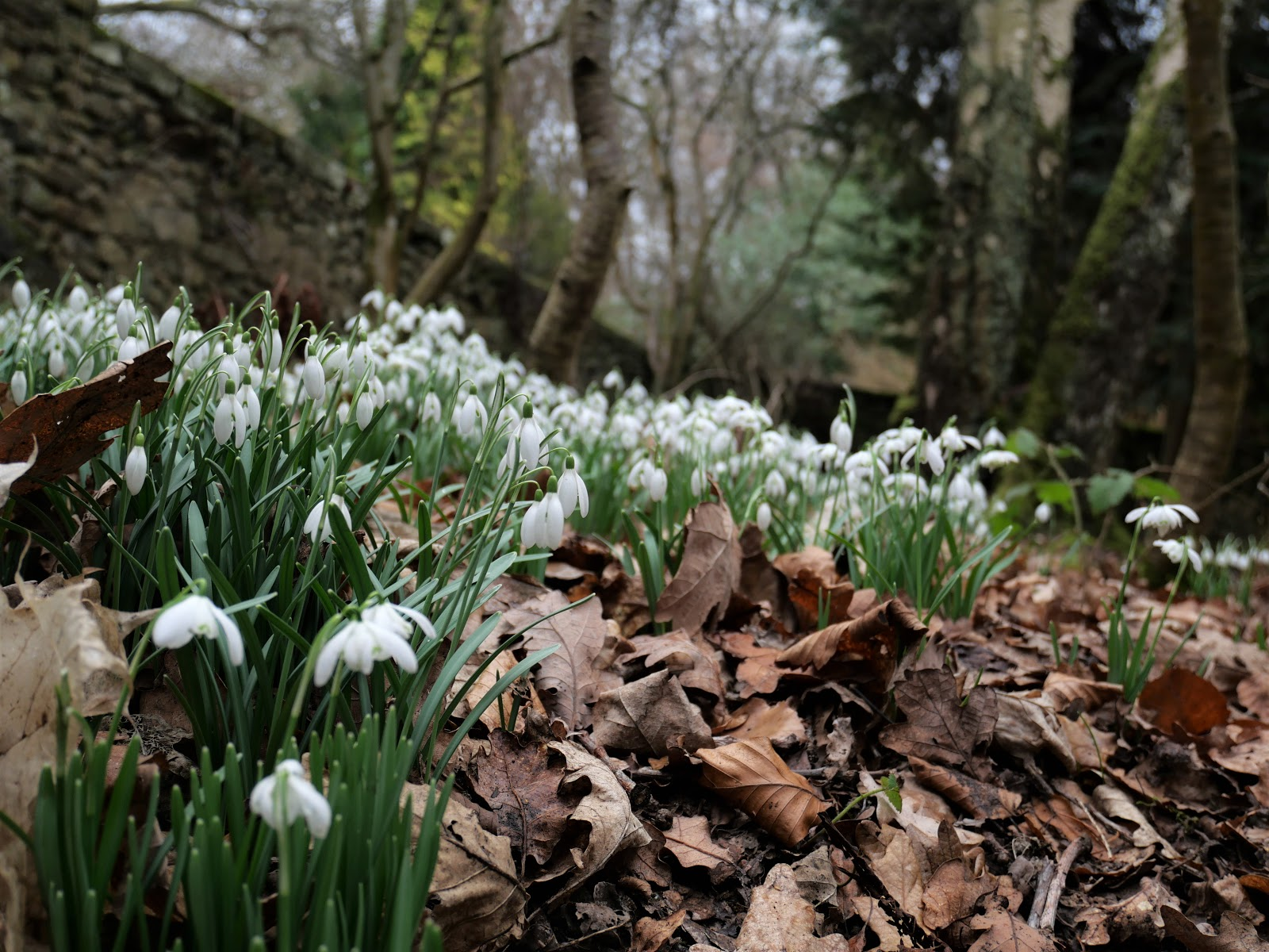 snowdrops-hopetoun-house